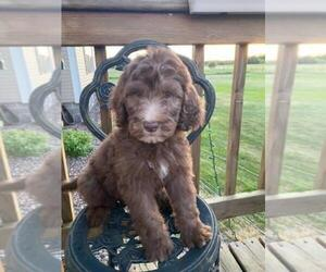 English Setter-Poodle (Standard) Mix Puppy for sale in FINLAYSON, MN, USA