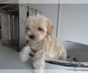 Poodle (Toy)-Schnauzer (Miniature) Mix Puppy for sale in KALAMAZOO, MI, USA