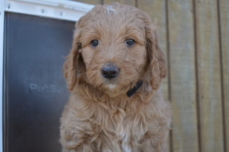 Goldendoodle Puppy For Sale in COOPER, TX