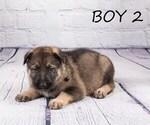 Small #7 German Shepherd Dog-Wolf Hybrid Mix