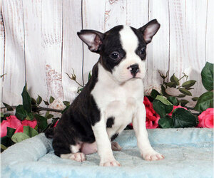 Boston Terrier Puppy for sale in PENNS CREEK, PA, USA