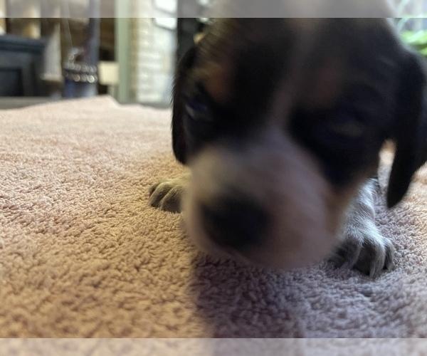 Medium Photo #2 Beagle Puppy For Sale in LAFAYETTE, IN, USA