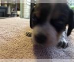 Small Photo #2 Beagle Puppy For Sale in LAFAYETTE, IN, USA