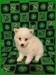 American Eskimo Dog Puppy For Sale in CLARKSVILLE, Tennessee,