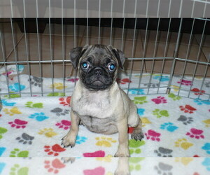 Pug Puppy for sale in ORO VALLEY, AZ, USA