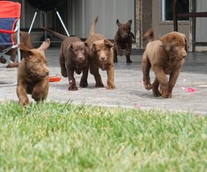 Labrador Retriever Puppy for Sale in REEDS, Missouri USA