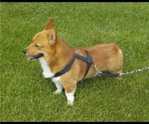 Father of the Pembroke Welsh Corgi puppies born on 06/10/2021