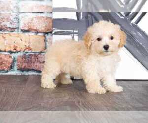 Bichpoo Puppy for sale in BEL AIR, MD, USA
