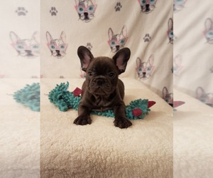 French Bulldog Dog for Adoption in HOUSTON, Texas USA