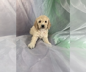 Cocker Spaniel-Poodle (Miniature) Mix Puppy for Sale in JOICE, Iowa USA