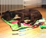Small #15 Labrador Retriever Mix