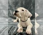 Small #20 Dogo Argentino