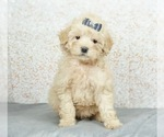 Puppy 3 Maltese-Poodle (Toy) Mix