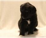 Puppy 2 Golden Newfie