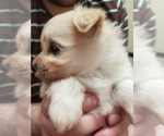 Small Photo #3 Pom-A-Nauze Puppy For Sale in CANBY, OR, USA