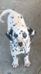Dalmatian Puppy For Sale in LEMON GROVE, California,