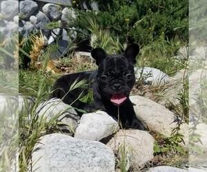 French Bulldog Puppy for Sale in SANTA CLARITA, California USA