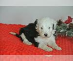 Puppy 4 Sheepadoodle