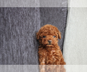 Poodle (Toy) Puppy for sale in WASHINGTON, DC, USA
