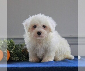 Bichon Frise Puppy for sale in GORDONVILLE, PA, USA