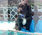 Puppy 3 Labradoodle