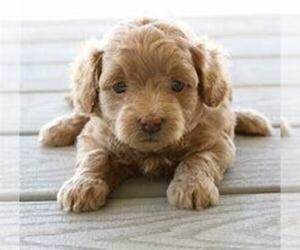 Goldendoodle Puppy for sale in OTTAWA HILLS, OH, USA