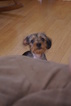 Dorkie Puppy For Sale in JAFFREY, NH
