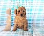 Mini Poodle Puppy