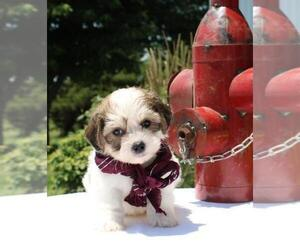 La-Chon Dog for Adoption in ORO VALLEY, Arizona USA