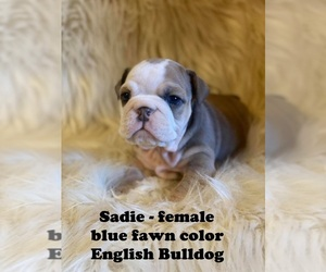 English Bulldog Puppy for sale in CLARKRANGE, TN, USA