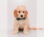 Puppy 1 Goldendoodle (Miniature)