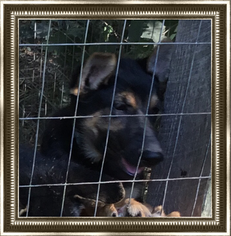 German Shepherd Dog Puppy For Sale in MOUNT GILEAD, NC