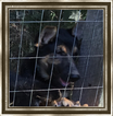 German Shepherd Dog Puppy For Sale in MOUNT GILEAD, NC, USA