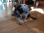 Australian Cattle Dog Puppy For Sale in PRIEST RIVER, ID, USA