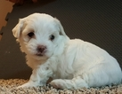 Maltese Puppy For Sale in THOMASVILLE, NC