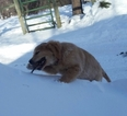 Golden Retriever Puppy For Sale in BEMIDJI, Minnesota,