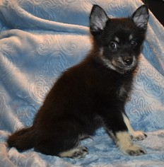 Pom Klee Mix Puppy For Sale in AUMSVILLE, OR, USA