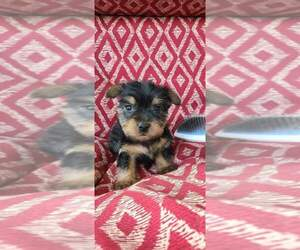 Silky Terrier Puppy for sale in WASHBURN, MO, USA