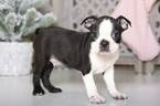 Scout Male Boston Terrier