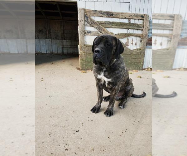 Medium Photo #1 Mastiff Puppy For Sale in WESTPORT, IN, USA