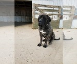 Small Photo #1 Mastiff Puppy For Sale in WESTPORT, IN, USA