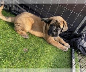 Mastiff Puppy for sale in FALCON, CO, USA