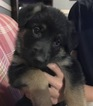 German Shepherd Dog Puppy For Sale in PLEASANT HILL, MO, USA