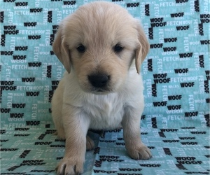Golden Retriever Puppy for sale in AUSTIN, KY, USA