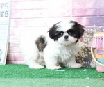 Gia Lovable Female Malshi Puppy