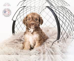 Saint Berdoodle Puppy for Sale in LEAVENWORTH, Indiana USA
