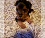 Small #3 Yoranian-Yorkshire Terrier Mix