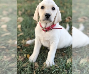 Labrador Retriever Puppy for Sale in SENECA, Kansas USA