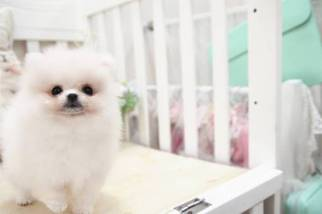 Pomeranian Puppy For Sale in SAN JOSE, CA, USA
