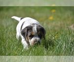 Puppy 6 Australian Cattle Dog-Treeing Walker Coonhound Mix